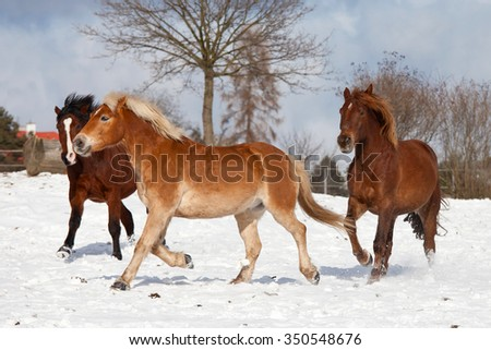 Three horses playing together in winter pasture - stock photo