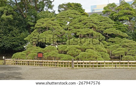 Three-hundred years old pine tree in Hama-rikyu Japanese Garden in central Tokyo, Japan - stock photo
