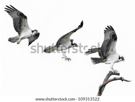 Three images of an Osprey flying to its perch - stock photo
