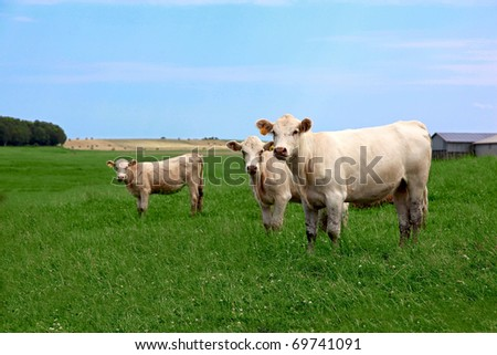 Three inquisitive cows looking at the camera in summer time - stock photo