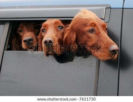three irish setter dogs looking out car window - stock photo