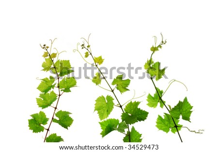 Three isolated branches of fresh grapevine - stock photo
