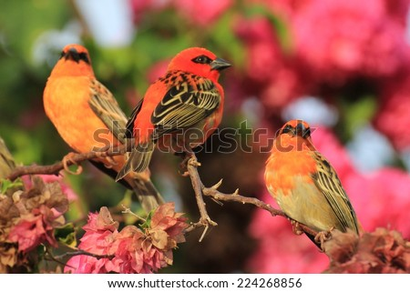 Three Kardinals birds of Seychelles islands on a branch. - stock photo