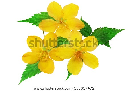 Three Kerria  Japonica  Yellow wildflowers isolated. - stock photo