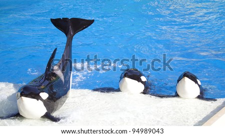 Three Killer Whales (called Orca Whales) performing for a  crowd. - stock photo