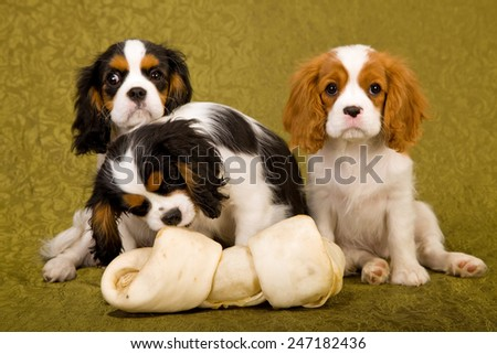 Three King Charles Cavalier Spaniel puppies with large rawhide bone on green background  - stock photo