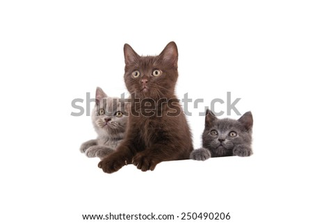 Three Kittens British blue, brown and beige on white background. Cat peeking from behind. Two months. - stock photo