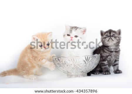three kittens exotic grey and beige and white on a white background.