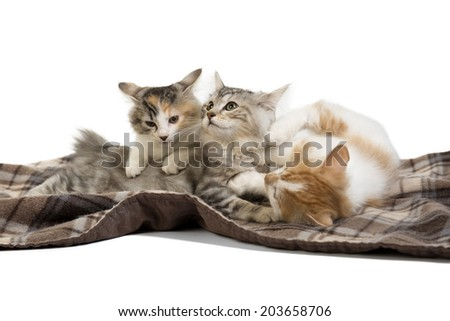 three kittens Kuril Bobtail - stock photo