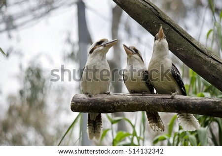 three kookaburras are sitting on the branch of a tree