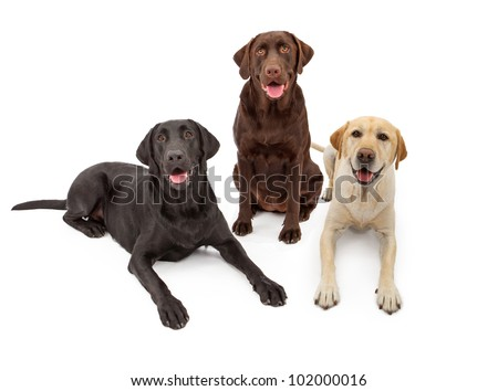 Three Labrador Retriever dogs isolated against a white backdrop with black, chocolate and yellow color coats. - stock photo