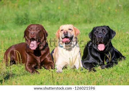 Three Labrador Retriever dogs on the grass, black, chocolate and yellow color coats. - stock photo