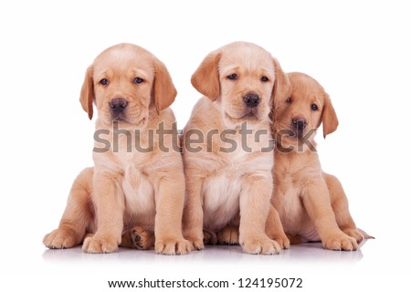 three labrador retriever puppy dogs sitting and looking at the camera  on white background - stock photo