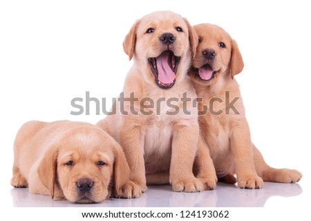three labrador retriever puppy dogs, two barking and one looking sleepy on white backgroun - stock photo