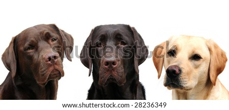 Three labrador retrievers - stock photo