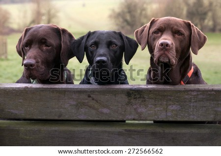 three labradors - stock photo
