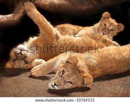 Three lazy young lions looking at the camera