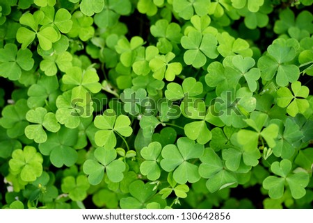 Three leaf clovers