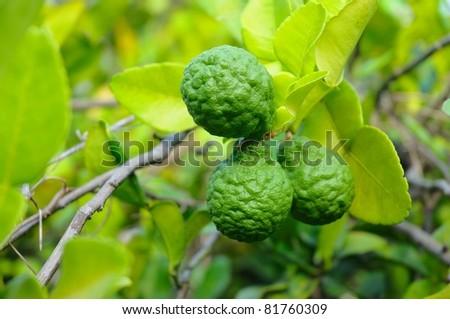 Three leech lime fruits hanging on its tree - stock photo