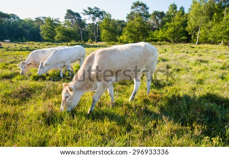 Three light brown and white cows grazing in a nature area in low sunlight early in the morning. - stock photo