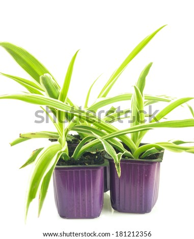 Three lilac pots with seedlings of chlorophytum isolated on white background - stock photo