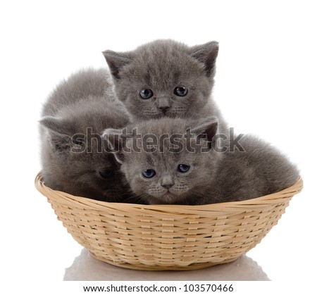 three little british kittens cat sitting in basket. isolated on white background - stock photo