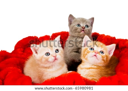 Three little british shorthair kittens cat isolated sitting in red velvet - stock photo