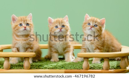 Three little kitten breed Scottish, the red marble coloring