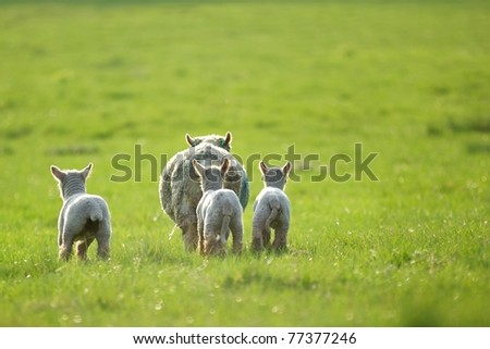 Three little lambs chasing after their mum - stock photo