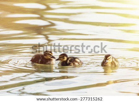 Three little mallard ducklings in the pond. Natural background. - stock photo