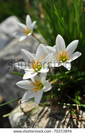 Three little white lily in garden - stock photo