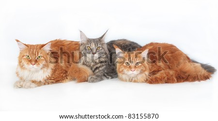 Three Maine Coon Cats on a white background. - stock photo