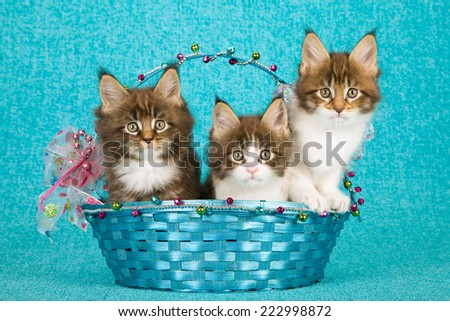 Three Maine Coon kittens sitting inside blue Christmas basket decorated with colourful bows, ribbons and beads on blue background  - stock photo