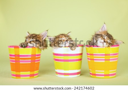 Three Maine Coon kittens sleeping inside three striped pots containers on light green background  - stock photo