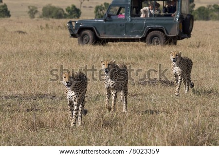 Three male cheetah walking the savannah in the Masai Mara (safari vehicle in background).