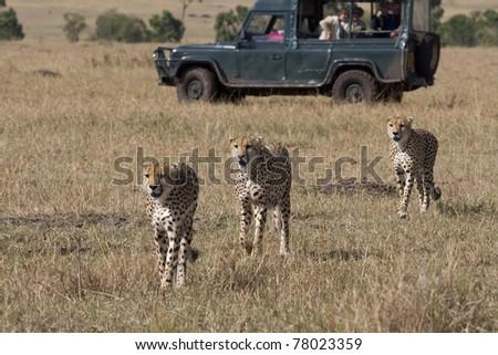 Three male cheetah walking the savannah in the Masai Mara (safari vehicle in background). - stock photo