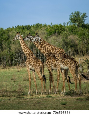 Three male giraffes practice neck-fighting