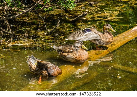 Three mallard ducks (Anas platyrhynchos) soaking up the sun on a summer day at the lake