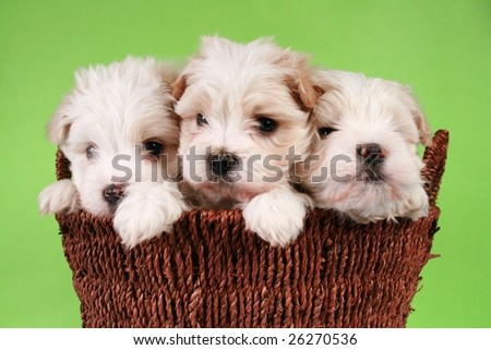 Three maltese puppies in a basket on a green background.