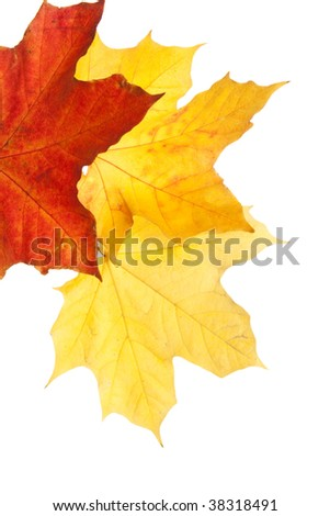 three maple leafs isolated on white background
