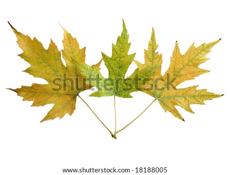 Three maple leaves isolated on white background - stock photo