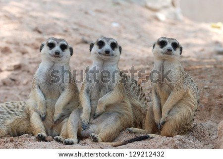 Three Meerkats sitting and looking into the camera