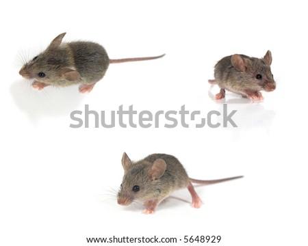 Three mice isolated on white - stock photo