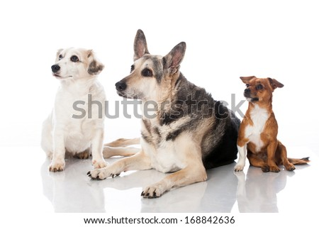 Three mixed breed dogs isolated on white - stock photo