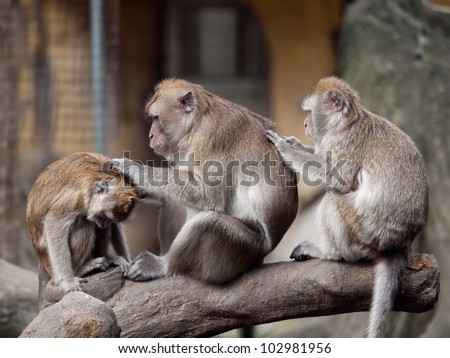 Three monkeys (crab eating macaque) grooming one another. I got this shot in Taipei Zoo, Taiwan. - stock photo