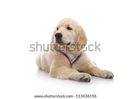 three-month puppy golden retriever ,shot in the studio on a white background