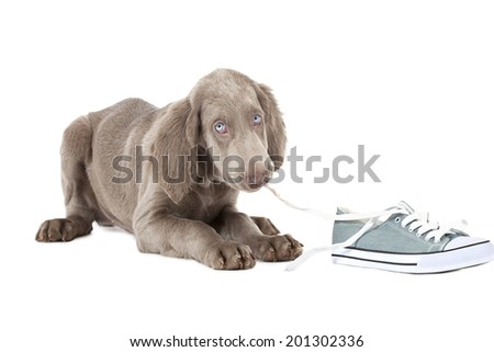 Three months old Weimaraner puppy chewing the lace of a shoe and looking at the camera with shy blue eyes  - stock photo