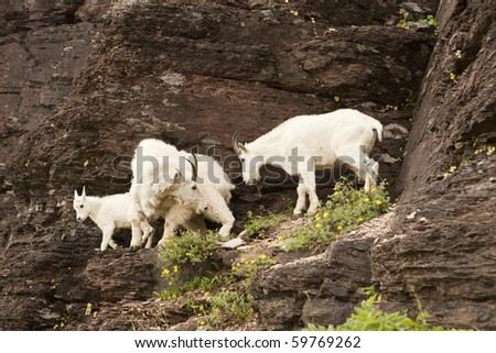 Three mountain goats (oreamnos americanus) on a rock ledge. The Rocky Mountain Goat is is a large-hoofed mammal found only in North America. It resides at high elevations and is often seen on cliffs. - stock photo