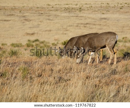Three mule deer mow down a lot of grass in the Southwest