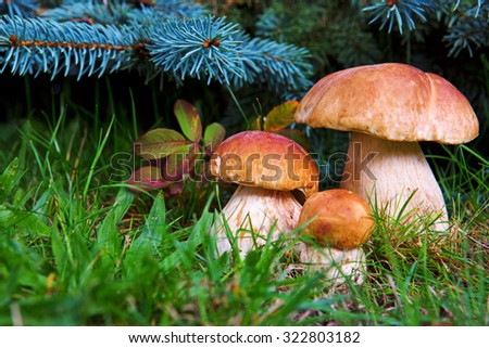 Three mushroom boletus in the forest.Three Mushrooms in the Grass closeup at the Autumn  Day.